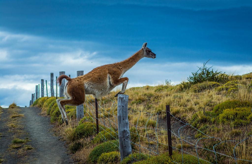 11 Jumping guanaco