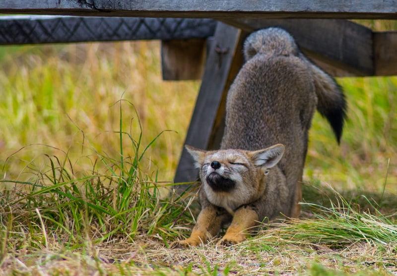 20 strechin fox