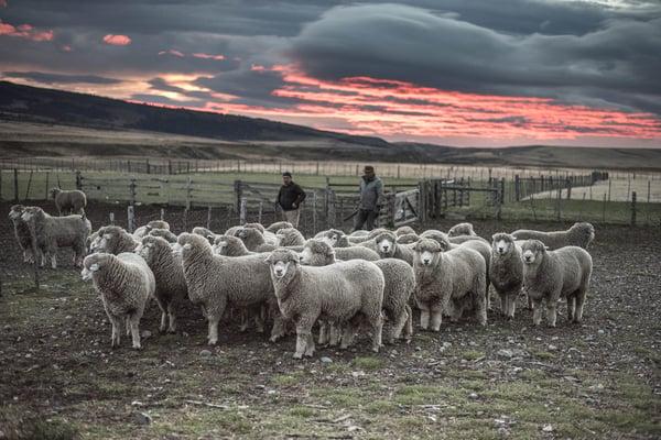 Ovejas en la Patagonia