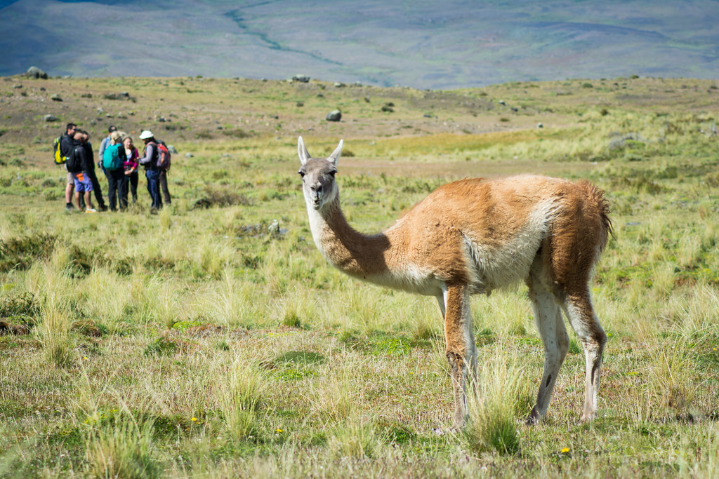 Guanaco looking at the photographer