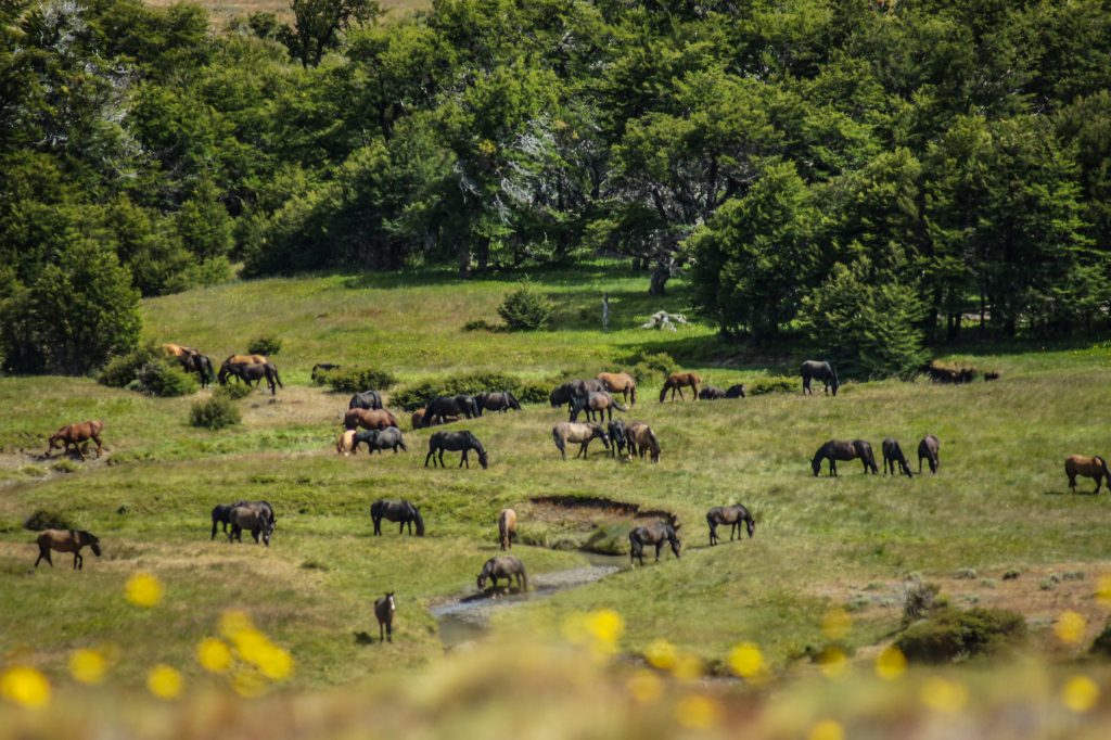 wild horses (baguales)