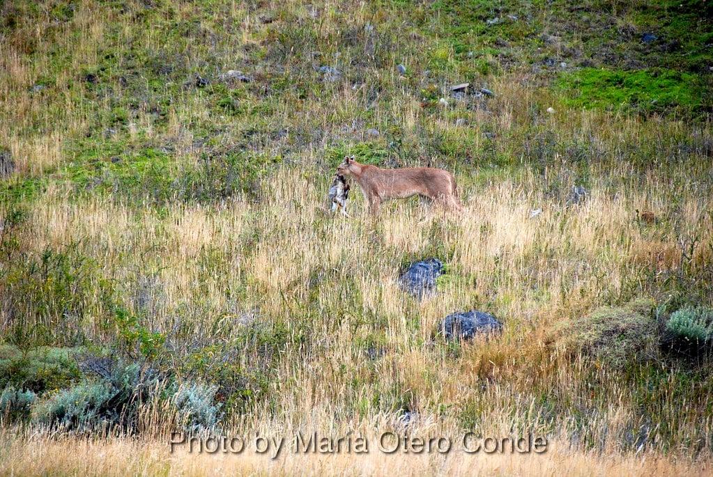 Puma Torres del Paine