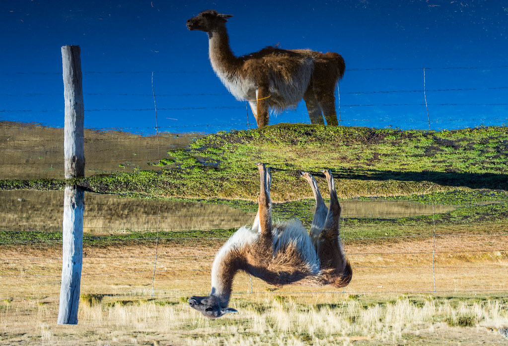 One of the thousands of Guanaco pictures you can take.