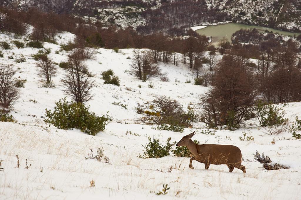 The endandered South Andean Deer