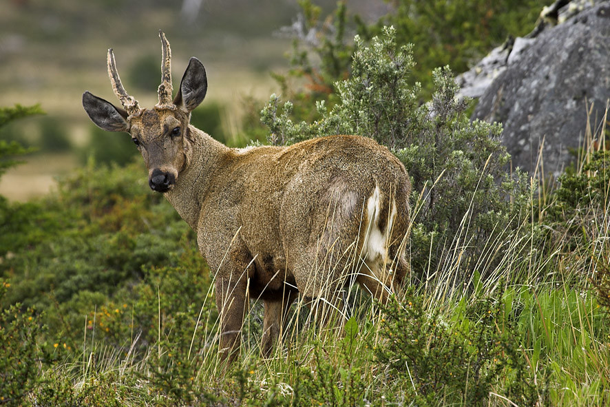 A huemul (only if you're very lucky)!