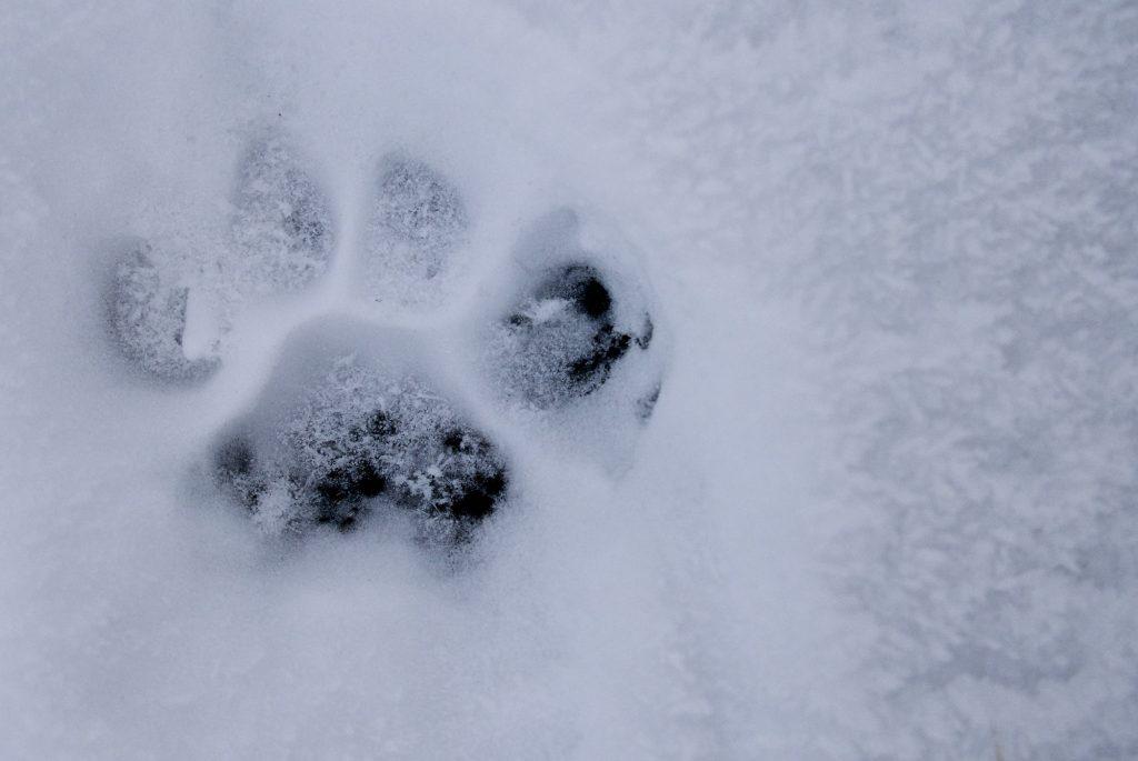 Puma Track Patagonia