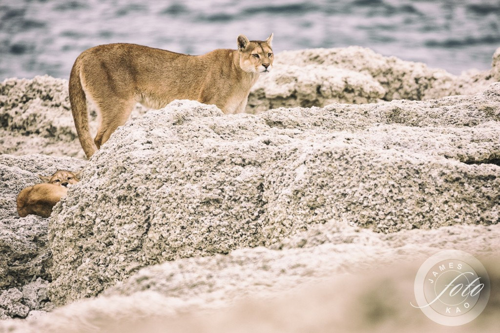 Mother Puma and her cub know they are being watched!