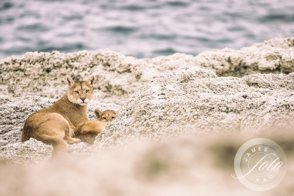 Mother Puma and her cub are watching us!