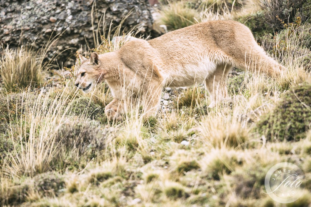 A puma is walking...nice shot, isn't it?