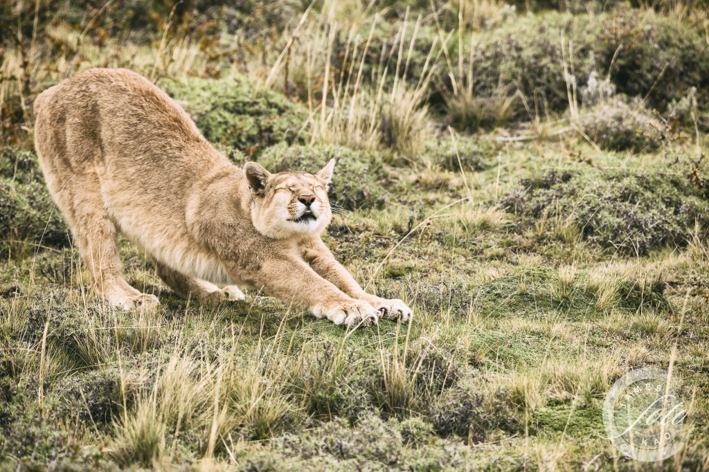 A puma is stretching...