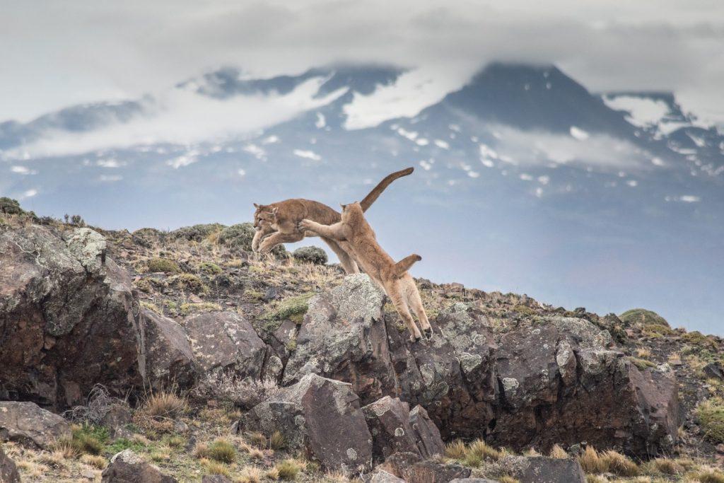 Pumas in Torres del Paine