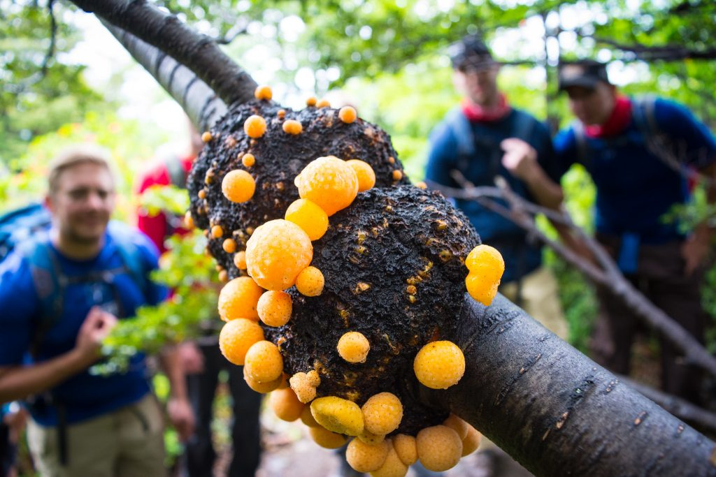 Darwin's fungus