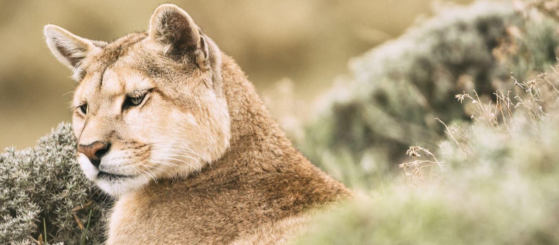 Puma in Torres del Paine 2-1