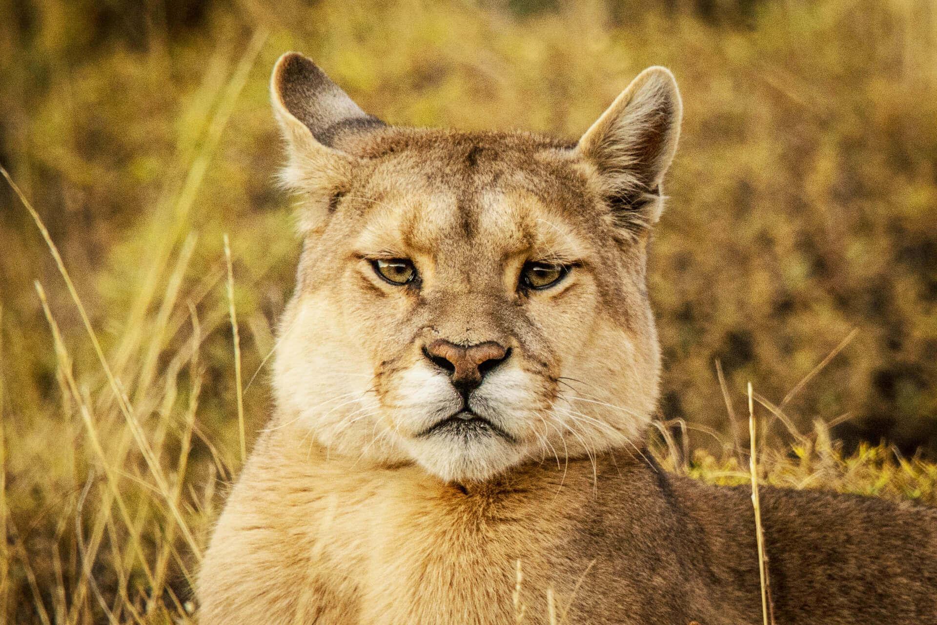 Puma portrait