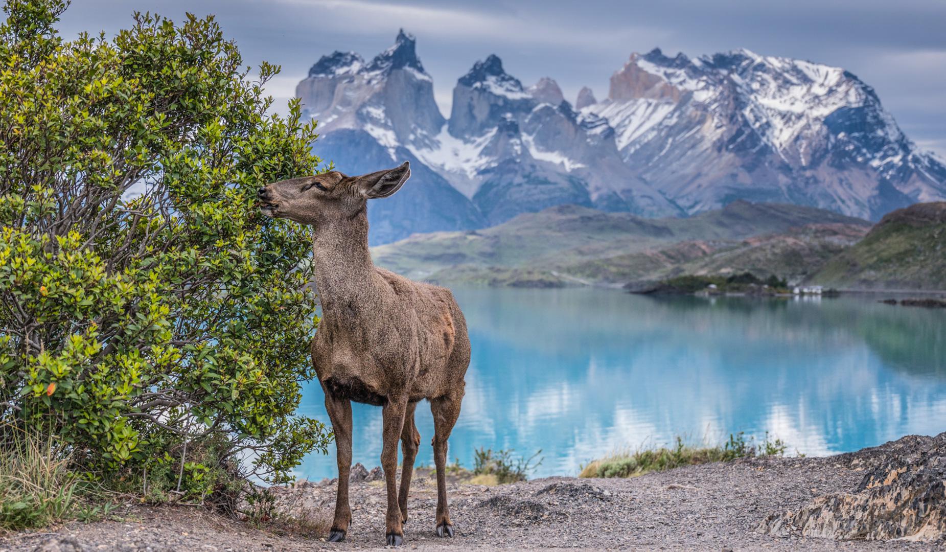 Huemul in Torres del Paine National Park